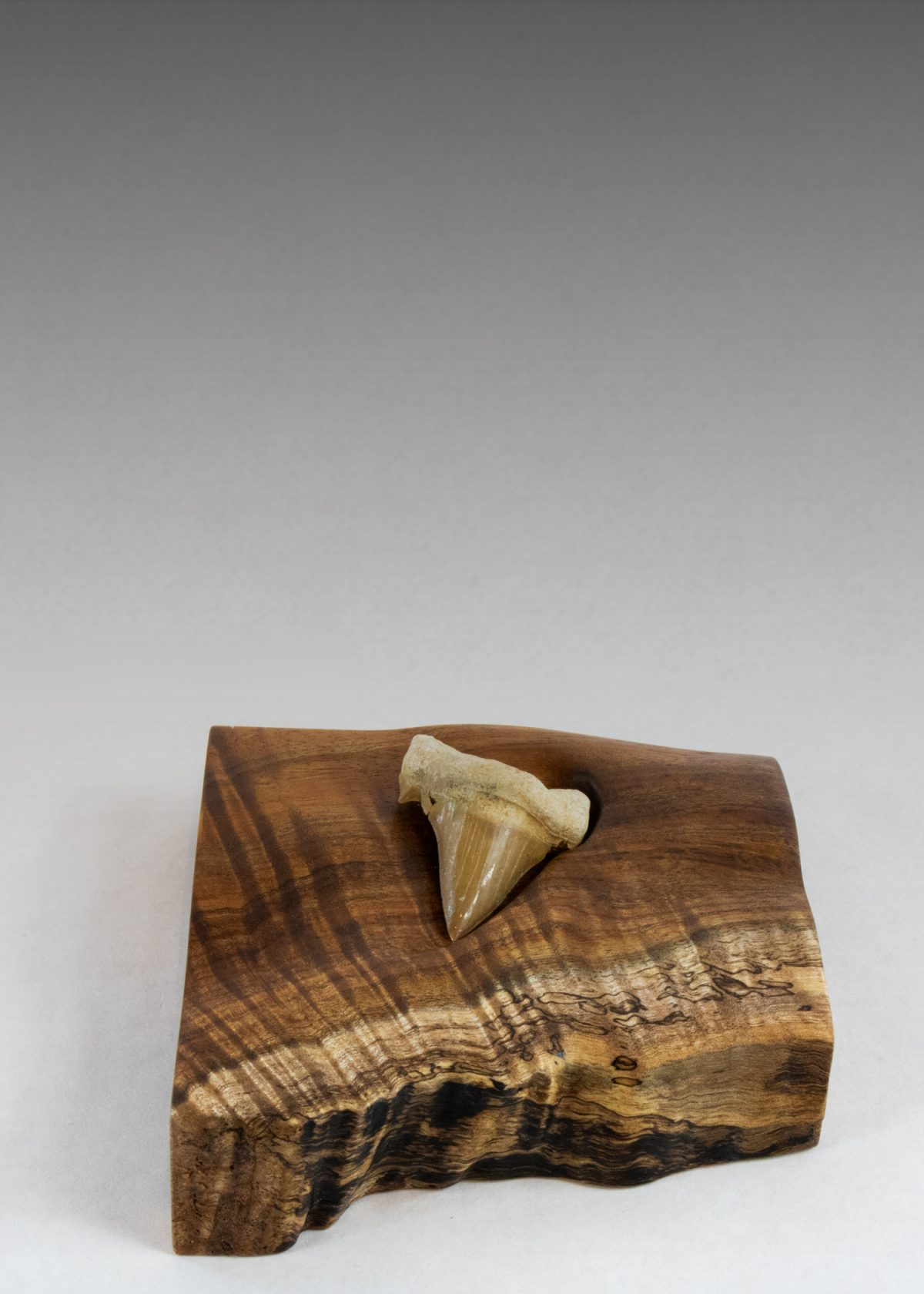 Andrew Vallees Show work  Real Shark Tooth