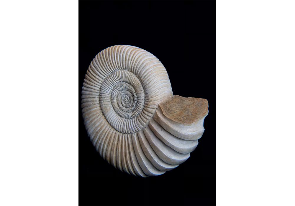 Ammonite Bronze 1